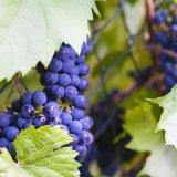 Route des vins Kochersberg |  Office du Tourisme du Kochersberg